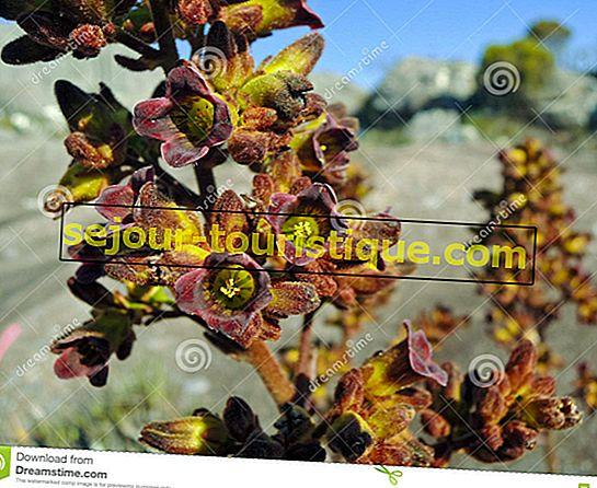 Endemische planten en bloemen van Madagaskar