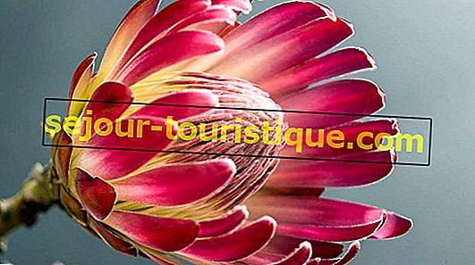 10 faits fascinants à savoir sur la Protea, fleur nationale de l'Afrique du Sud