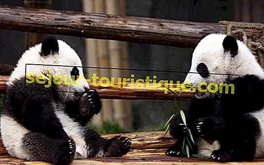 Les 12 pandas les plus célèbres de Chine