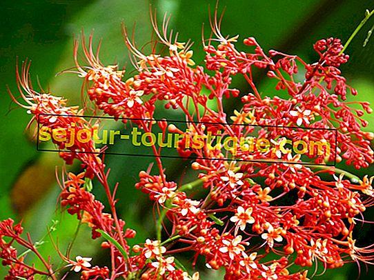 15 loài hoa và cây đẹp có nguồn gốc từ Malaysia