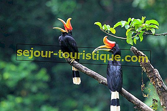 Hornbill 11 Fakta Mengenai Burung Kebangsaan Malaysia