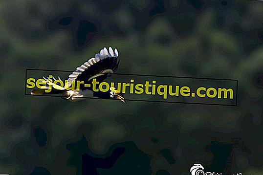 Hornbill: 11 Fakta Mengenai Burung Kebangsaan Malaysia