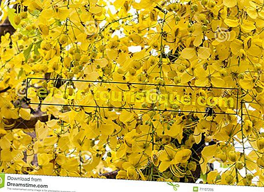 Ratchaphruek: 11 Fakta Tentang Bunga Nasional Thailand