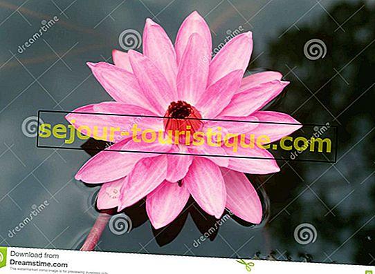 Lotus: 11 Fakta Tentang Bunga Nasional Vietnam