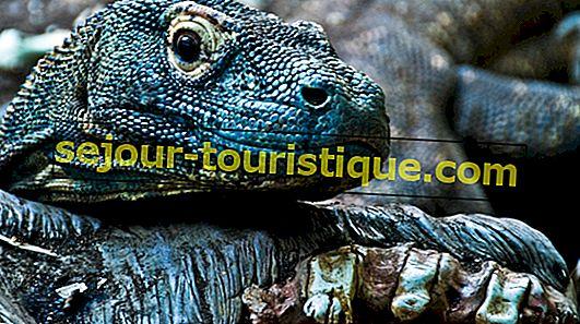 インドネシアの国民動物であるコモドドラゴンについての11の事実