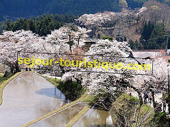 Haiku-Poesie über Japans Kirschblüten