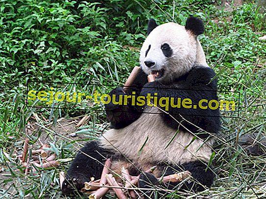 Panduan untuk Mengunjungi Panda di Chengdu