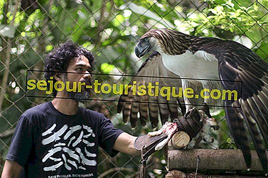 Aigle des Philippines: 11 faits sur l'oiseau national des Philippines
