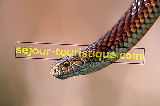10 loài rắn độc nhất nước Úc