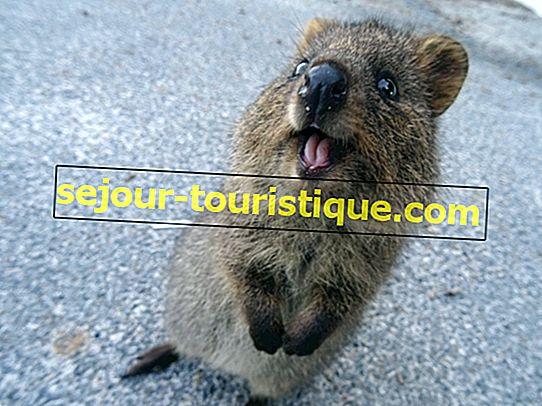 Quokka: 11 Fakten über Australiens süßestes Tier