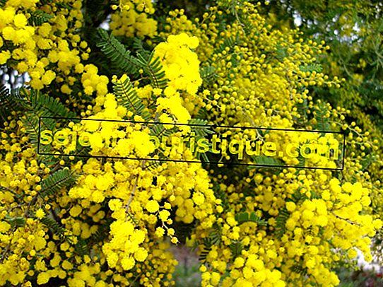 Golden Wattle: 11 ข้อเท็จจริงเกี่ยวกับดอกไม้ประจำชาติของออสเตรเลีย