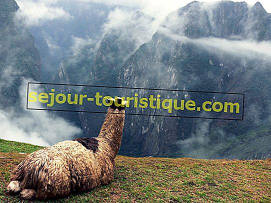 17 Hal yang Perlu Anda Ketahui Tentanglamas di Peru